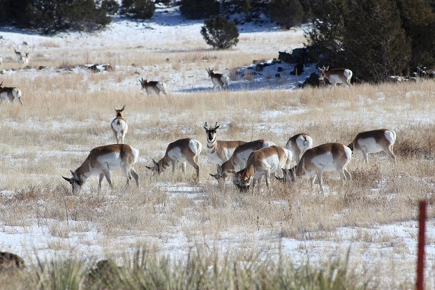 A small group of pronghorn grazing through a field in winter