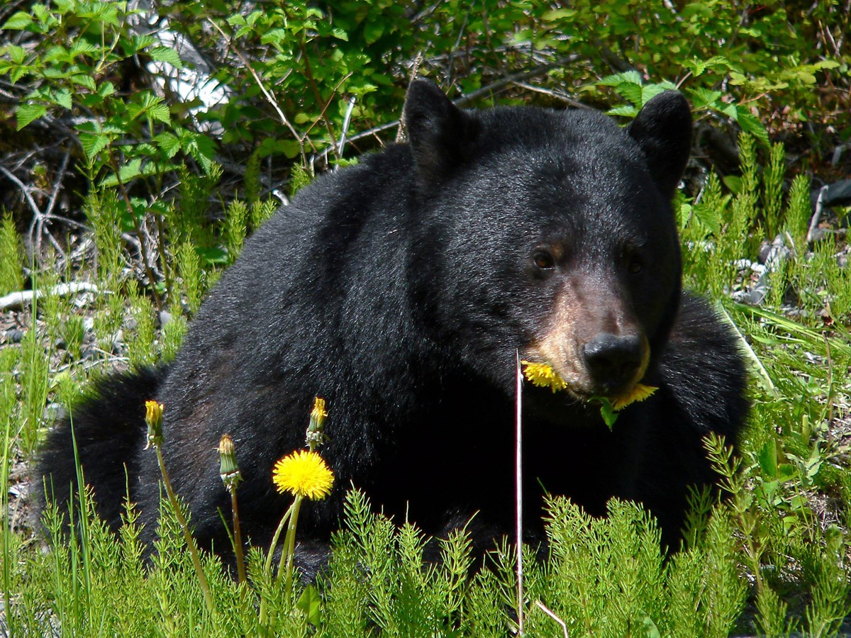 Black bear sitting eating flowers