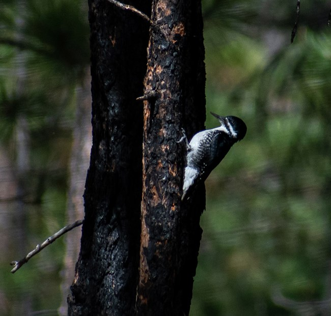 A black and white bird on a charred tree trunk.