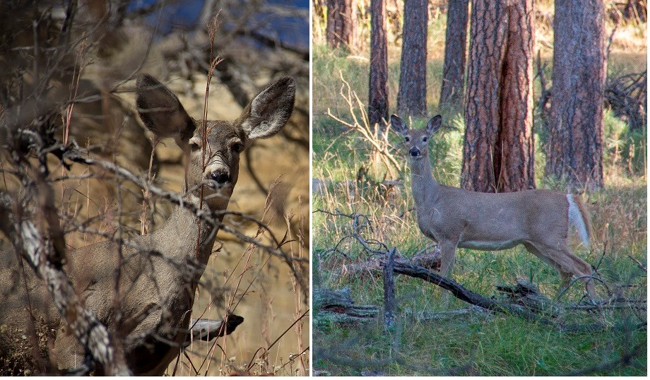 A comparison between mule deer and white-tailed deer