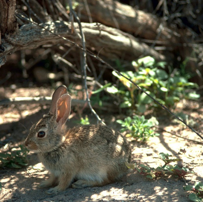 Desert Cottontail in the bushes