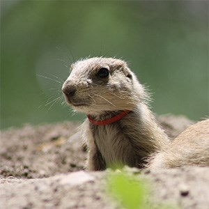 A prairie dog pup with a plastic ring stuck around its neck.