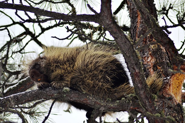Porcupine sitting on a tree branch
