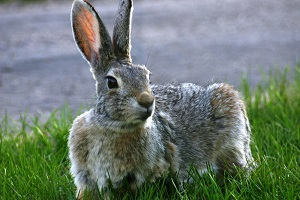 A closeup of a Rabbit lounging on the grass