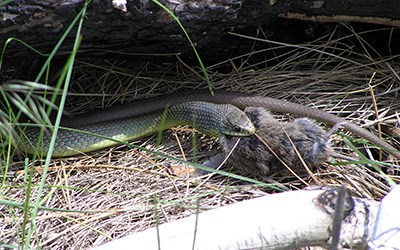 A yellow-bellied racer catches a rodent to eat