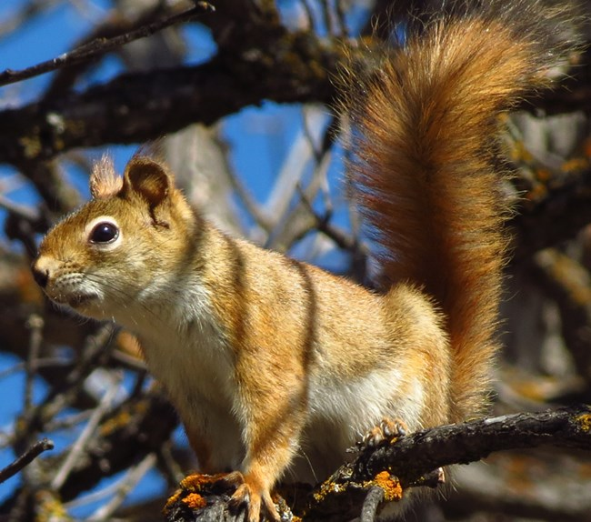 Red squirrel perched on a tree branch