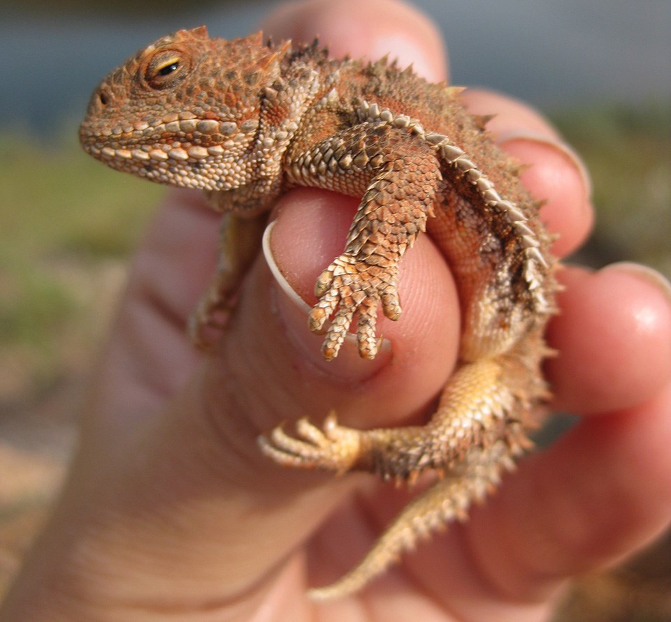 A short-horned lizard being held, smaller than a human hand