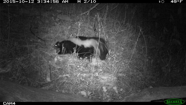 Striped skunk on a trail cam.