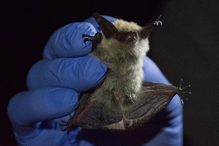 A captured bat being held by a park biologist
