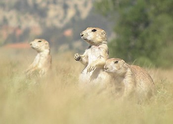 Three prairie dogs foraging for food