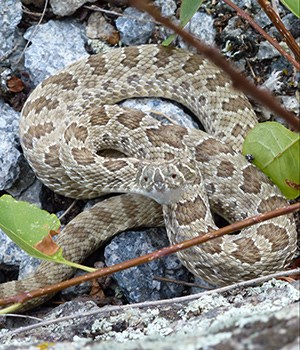 A close up view of a prairie rattlesnake, showing the pits common to other vipers in this family