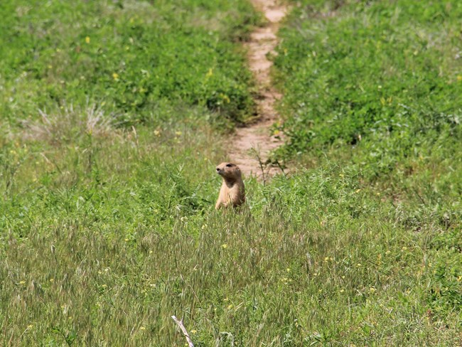 Prairie dog standing up in green grass with dirt hiking trail in background