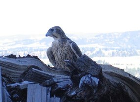 A falcon perched on a pile of wood