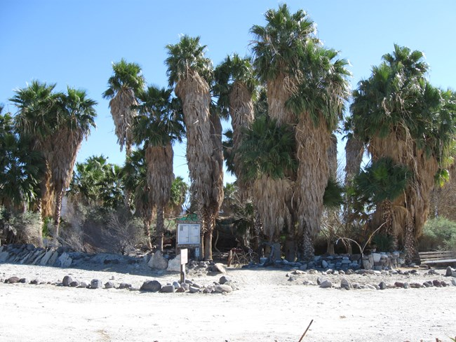 A group of fan palms in a desert setting.
