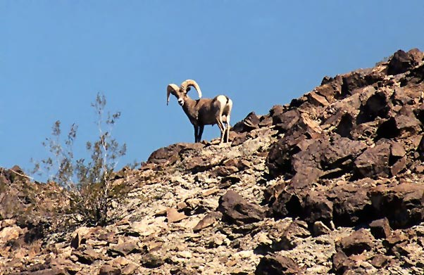 A bighorn sheep ram stands on a ridge line looking down.