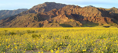 2005 wildflowers at Death Valley