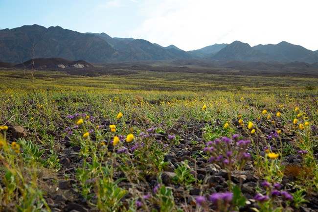 A field of yellow flowers in a desert setting.
