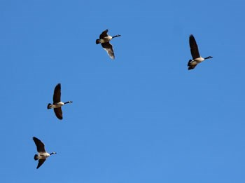 Four large birds flying through a cloudless blue sky