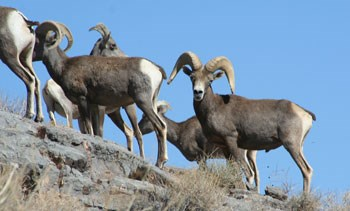 Group of grey sheep with large horns on a rocky slope