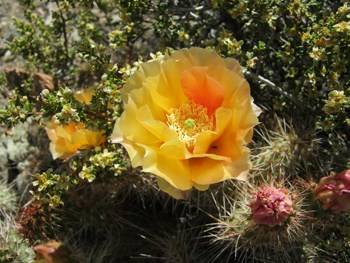 Orange bloom of a cactus