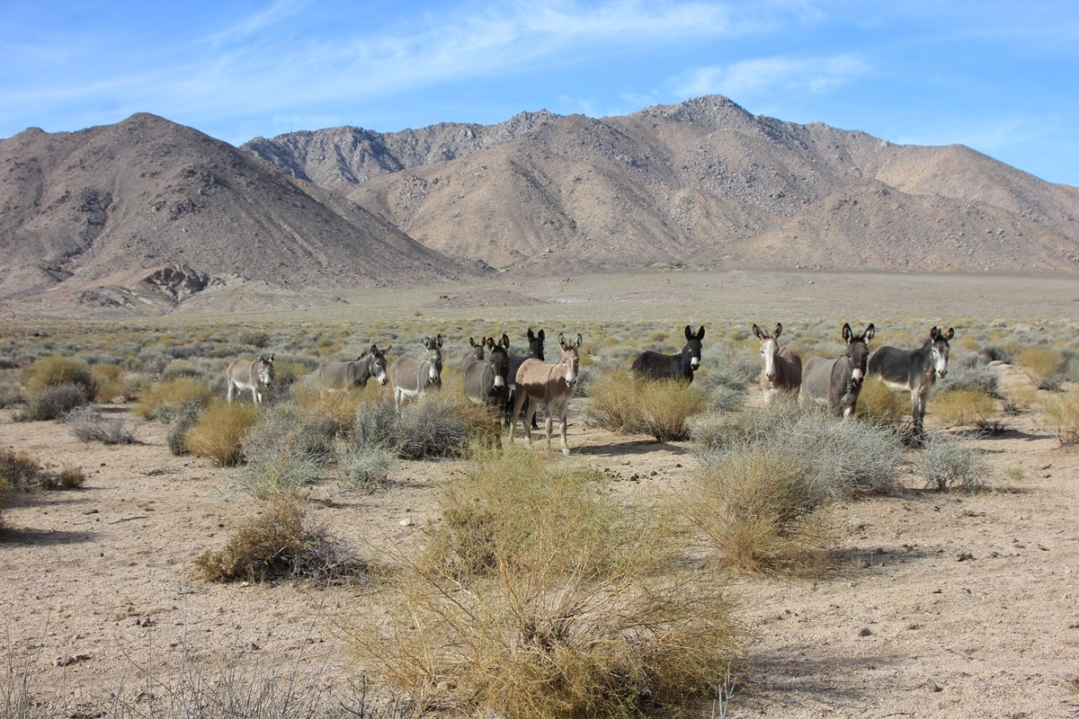 A group brown-hued burros stand in the foreground of the desert spotted with bushes, while desert mountains loom in the distance.