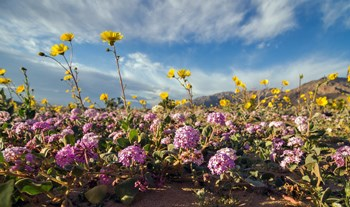 yellow and pink flowers bloom from the sand on the valley floor