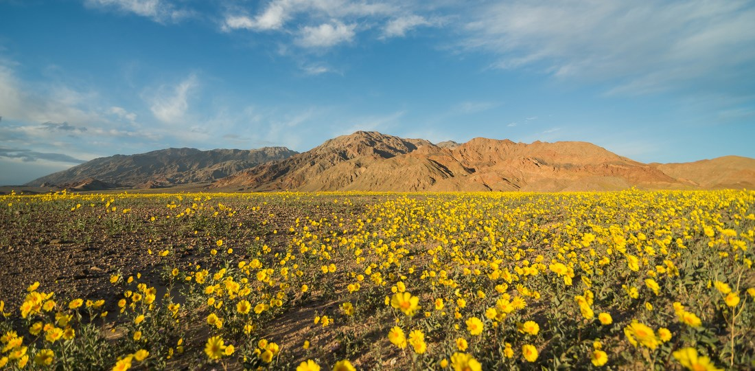 Carpet of yellow flowers cover the valley floor with mountains in the background