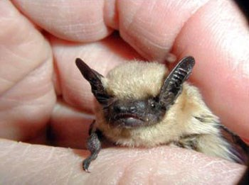 Small bat with blonde body and brown face and ears held in a biologist's hand