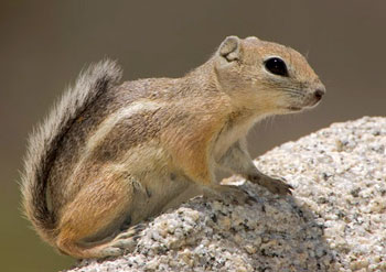 Small tan squirrel perched on a rock
