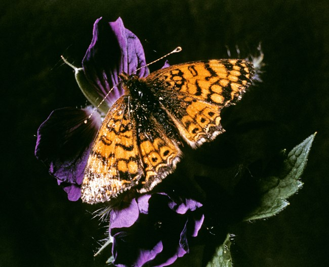 Orange butterfly with brown spots resting on a purple flower