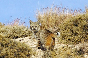 spotted cat with ear tufts looking over its shoulder among dessert grasses