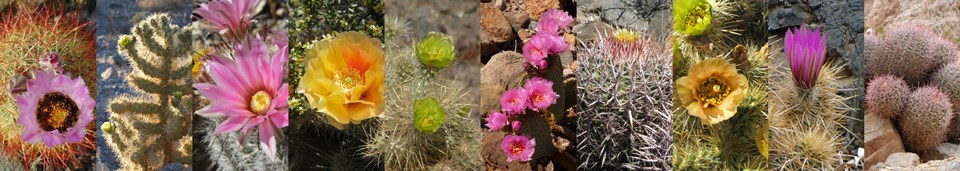 Cactus with pink, orange, yellow, and green blooms