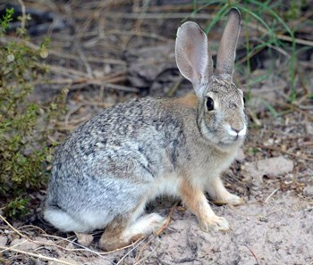 cottontail rabbit looking alert