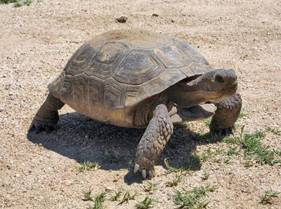 Tortoise walking over grass and gravel