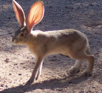Jackrabbit with large ears.