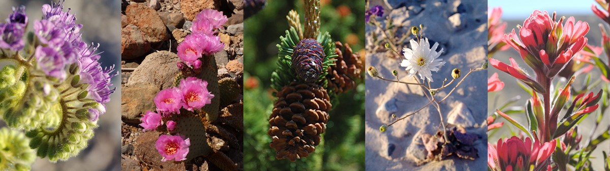 purple phaceilia, pink bloomed beavertail cactus, Great Basin bristlecone pine cone, white flower in sand, red desert paintbrush