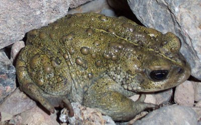 amphibians death valley national park u s national park service