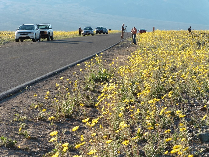 Visitors parked alongside wildflowers in Death Valley National Park