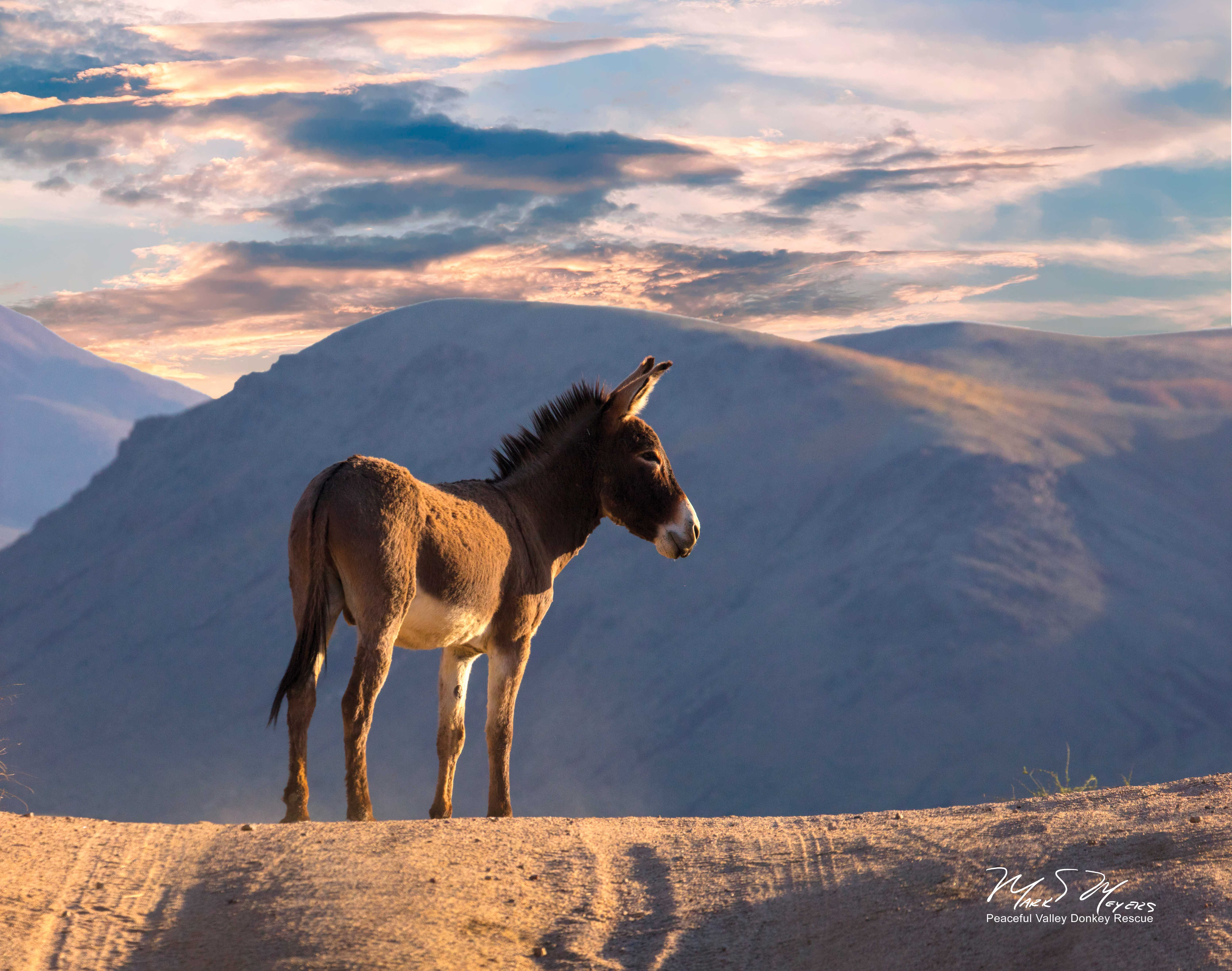 A burro stands atop a hill with a sunset sky.