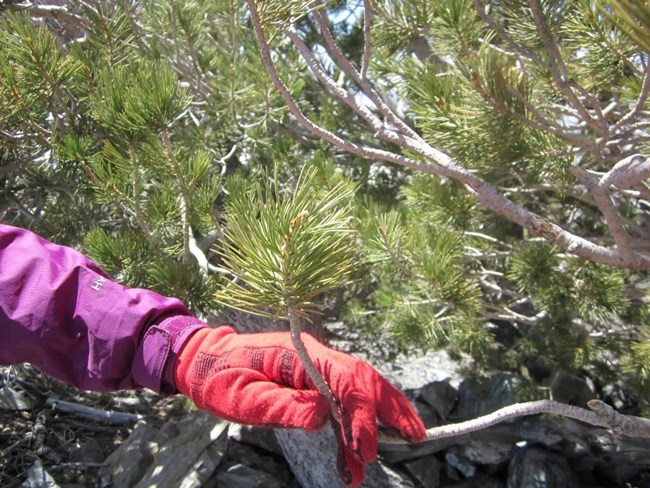 A pine tree limb is bent back by a gloved hand to show the flexibility of Limber Pines