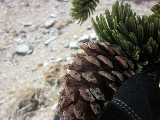 A cone from a bristlecone pine held in hand to demonstrate the tiny bristles.