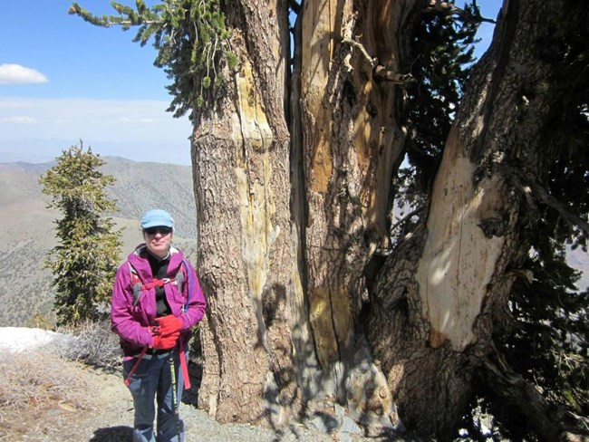 A hiker wearing sunglasses stands in front of a large bristlecone pine tree.