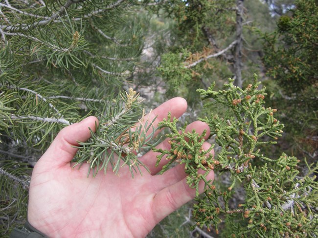 A hand palm side up holds a branch of the needle ridden pinyon pine tree and the juniper branch for comparison.