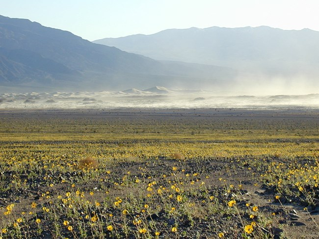 A foreground of yellow flowers leading away to distant desert mountains with a dust storm at the base.