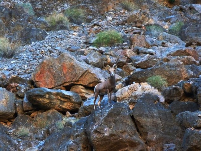 A Desert Bighorn Sheep stands upon a boulder on a canyon wall.