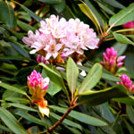Large pink flowers (rhododendron) in bloom