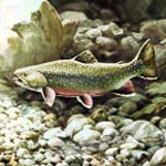 Brook trout in stream