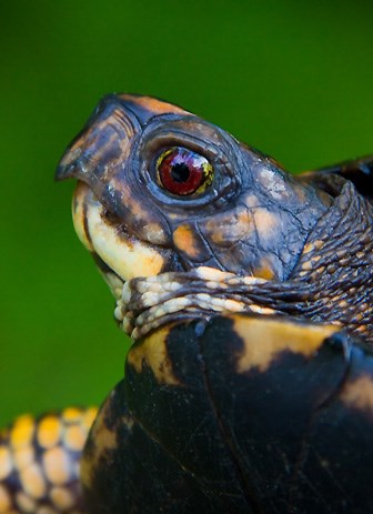 Face of a red-eyed turtle with yellow markings