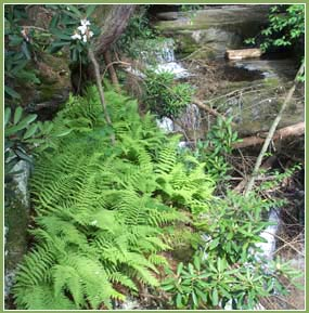 Ferns along a rocky rivulet