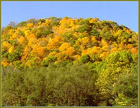 Knob-shaped hills with foliage in bright yellow and gold